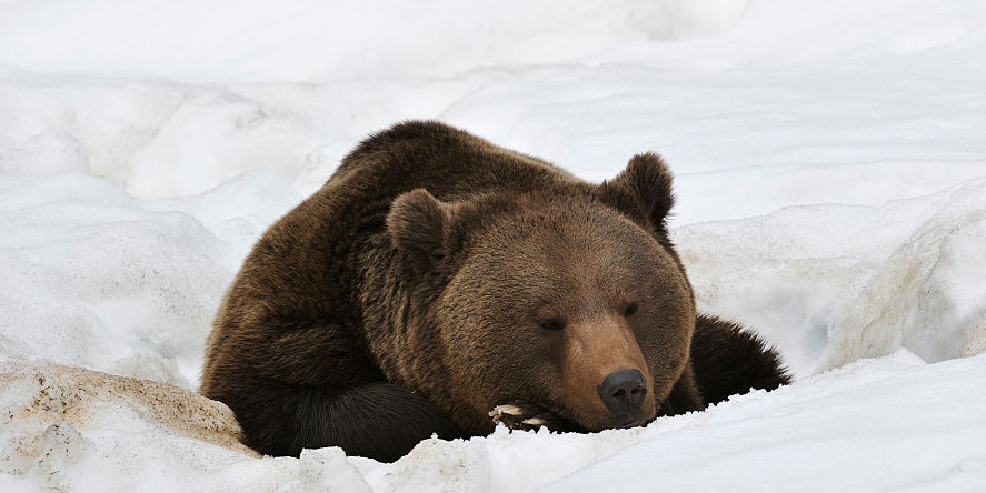 Congress Just Made It Legal To Kill Hibernating Bears