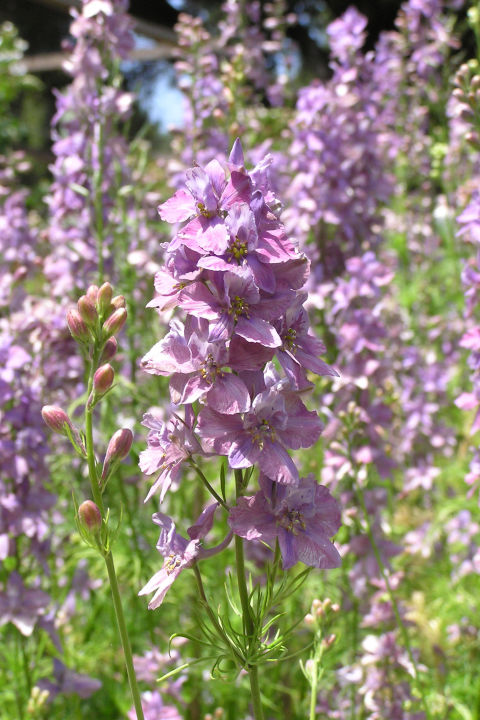 These Elegant, Informal Spires Of Pink, Purple Or White Blossoms Grow Up To  Five Feet Tall And Make Wonderful Bouquets Or Dried Flowers.