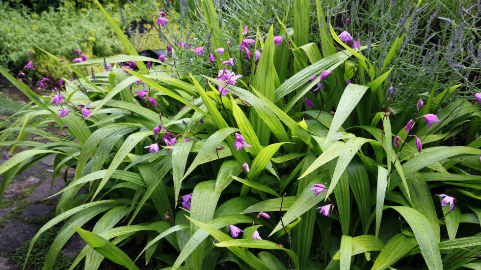 this perennial also called hardy ground orchid flowers in early spring in white purple and various shades of pink - Plants That Grow Well In Shade