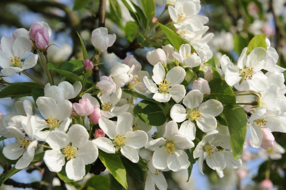 garden-ideas-on-a-budget-crab-apple-blosson