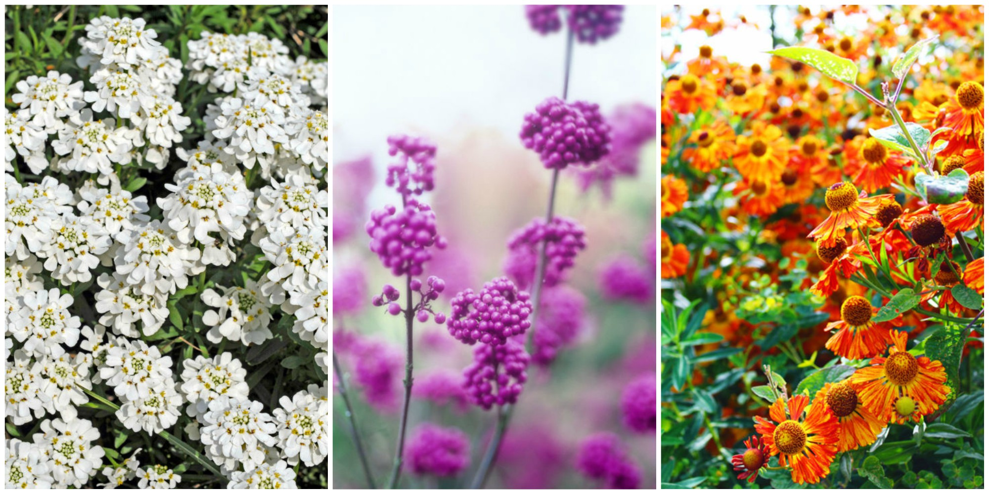 20 fall flowers to plant pretty fall flowering for Popular fall flowers