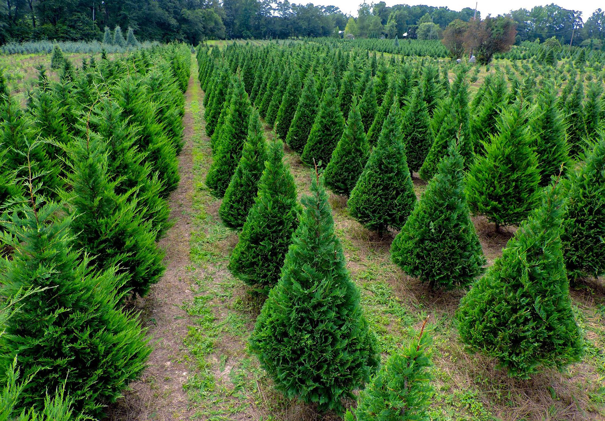 10 Best Christmas Tree Farms - Fun Christmas Tree Farms to ...