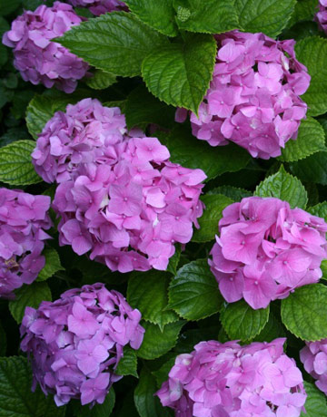 pruning hydrangeas, Beautiful flower