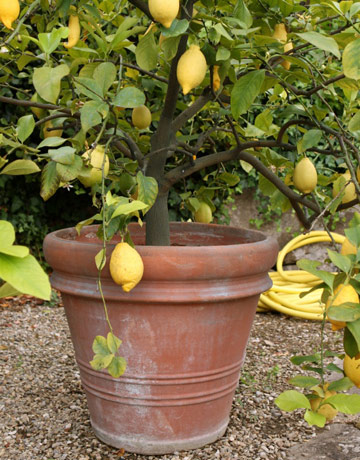 Citrus plants how to grow citrus for Growing a lemon tree in a pot from seed