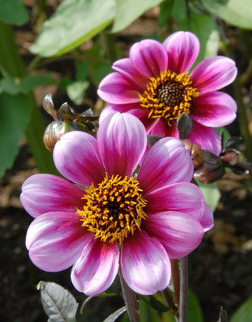 Planting dahlias for Flowers that look like dahlias