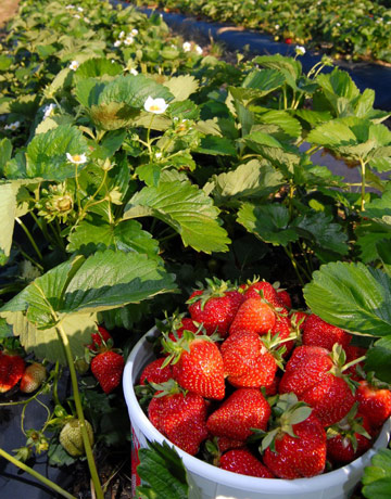Containing Strawberry Plants