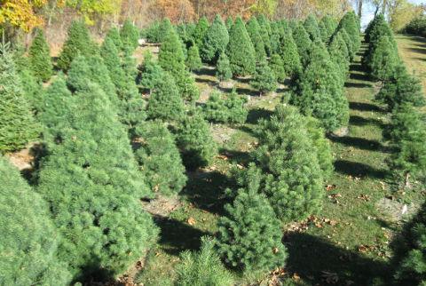 How to Pick a Christmas Tree - Choosing a Christmas Tree