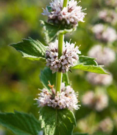 Image Gallery spearmint flowers