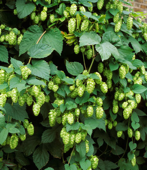 Best known as a key beer ingredient, the hop vine brings good taste to a garden, too. In mid to late summer, its large leaves are joined by chartreuse cones (borne only on female plants) that deliver as much drama as any flower. Plus, this baby can climb 12 inches per day, topping out at around 25 feet.