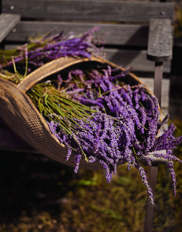 """Lavender is easy to grow,"" he says. ""It thrives in hot, sunny locations with well-drained, alkaline soil."" To extend the season, combine several varieties. Hardy Lavandula angustifolia, or English lavender, blooms early and is adaptable to cooler, more humid areas. Hybrid varieties, such as 'England' and 'Silver Frost', enjoy a longer blooming season, as do Intermedia French hybrids, including L. x intermedia 'Grosso' and 'Provence', which also flower late and are especially treasured for their perfume. Whether you plant it in the garden or in pots, you'll soon discover lavender's many virtues. TIP: Lavender needs well-drained soil to flourish. If your soil is heavy, amend it by adding one part sand and gravel to one part native soil, and plant in berms to further help with drainage."