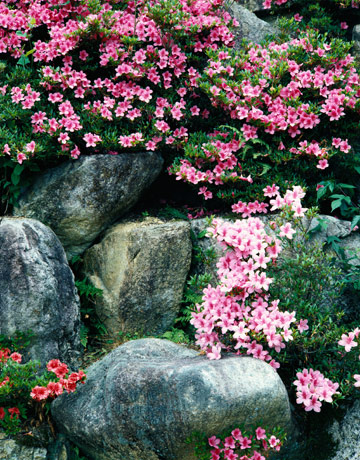 Country Garden Ideas country garden Pink Flowers Growing Around Rocks
