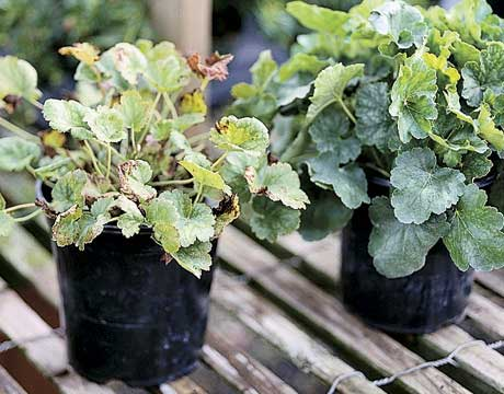 At the nursery, look at the leaves of a plant to figure out how healthy it is. Avoid picking plants with brown, yellow, or wilted leaves, which could signify poor health or neglect. PLUS: The 10 Most Common Gardening Mistakes