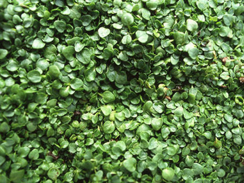 ground cover flowers low growing flowers