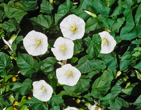 The vine Ipomoea alba grows to 15 feet, unfurling four- to six-inch-wide fragrant white blooms. Buy seedlings, since germinating seed is tricky, and provide ample sun and fertilizer. ANNUAL