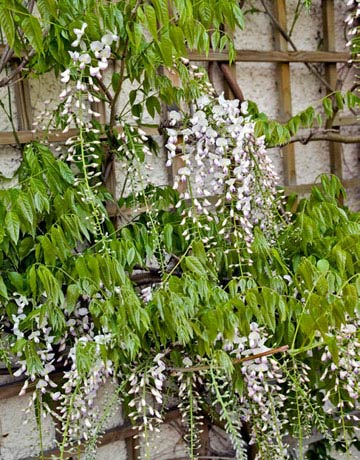 A woody vine, Wisteria floribunda is hardy to zone 5. This finicky plant can take several years before the white or lilac clusters emerge, so be sure to buy one that's already in bloom.  PERENNIAL