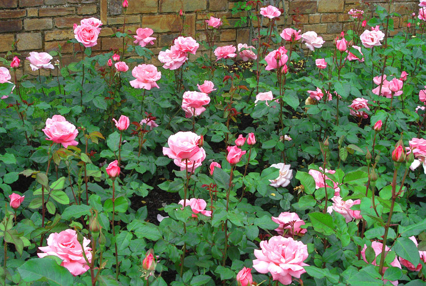 Best Time To Plant Carpet Roses Carpet Vidalondon