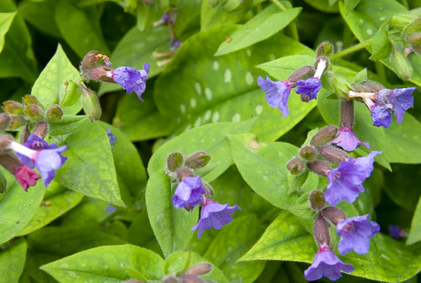 lungwort best perennials for any yard