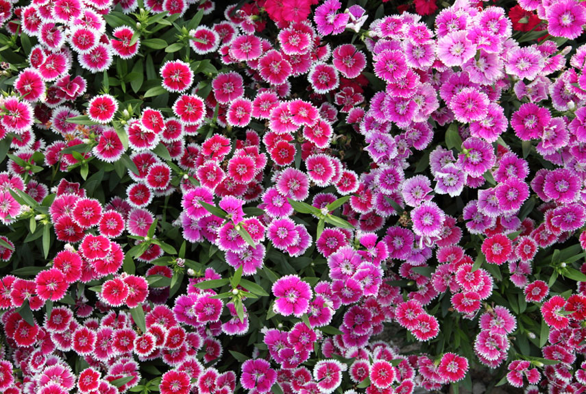 The 10 best perennial flowers for any homestead that returns year blooms that last until summer dianthus gratianopolitanus baths pink the itty bitty pink blossoms on this mightylinksfo