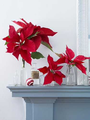 Put your collection of vintage apothecary bottles to good use by arranging single stems of poinsettias in them as part of a simple but festive mantel display.