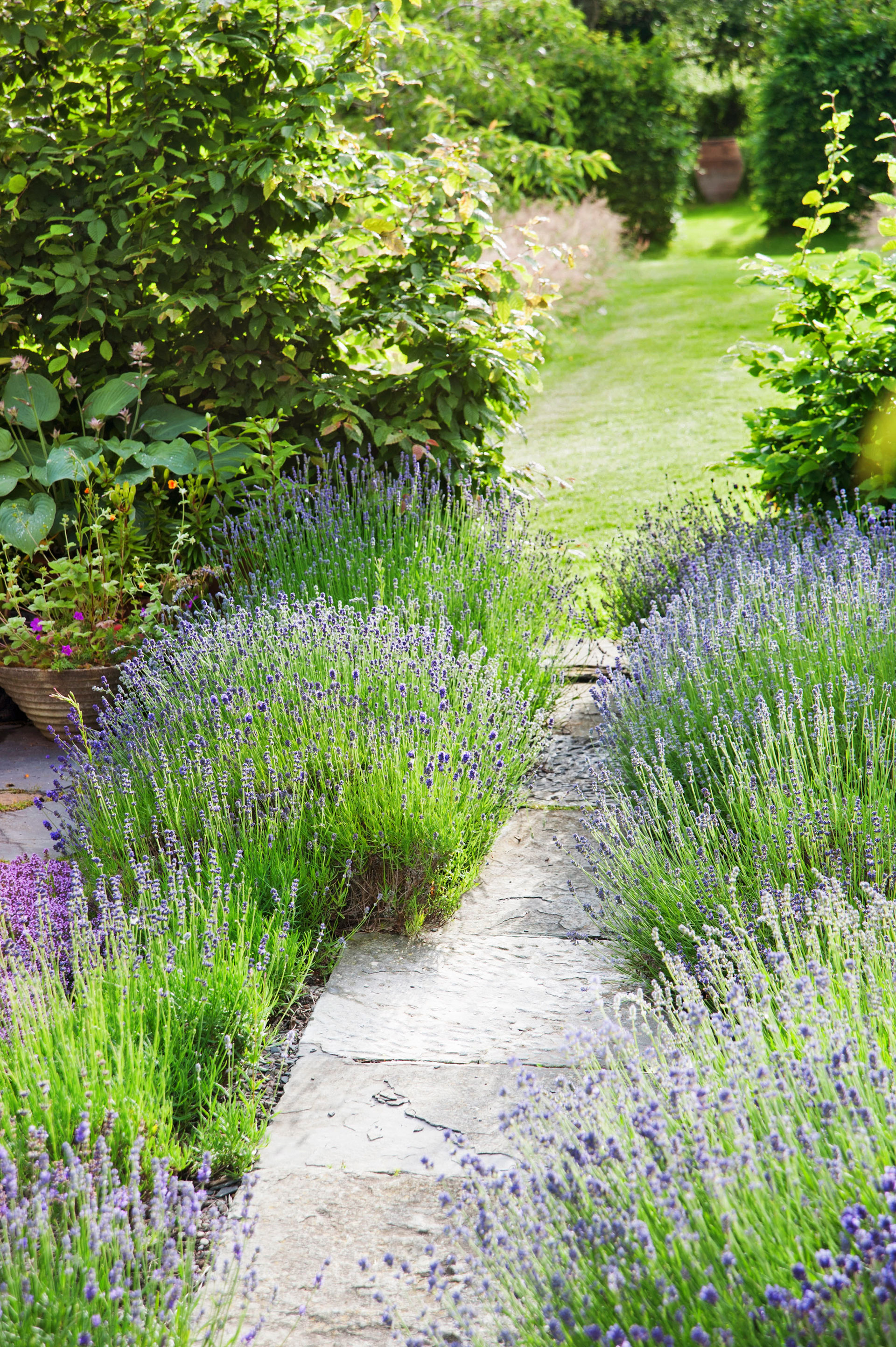 Landscaping With Lavender Plants : Easy garden plants to grow cheap hardy plant ideas