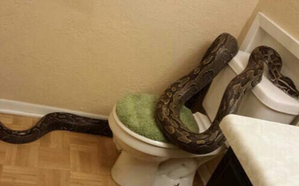 Woman Finds 12 Foot Snake In Her Home Tips For Controlling Snakes