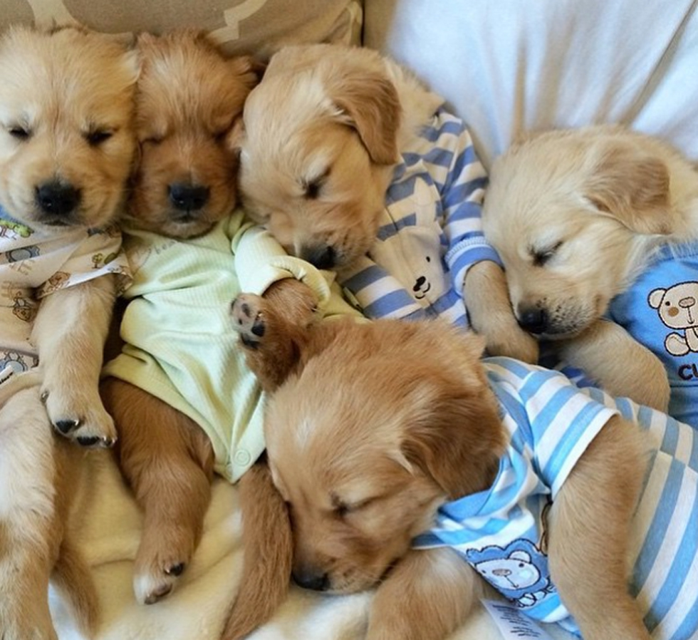 golden retriever pajamas this quot pups in pajamas quot instagram account is so cute it hurts 1372
