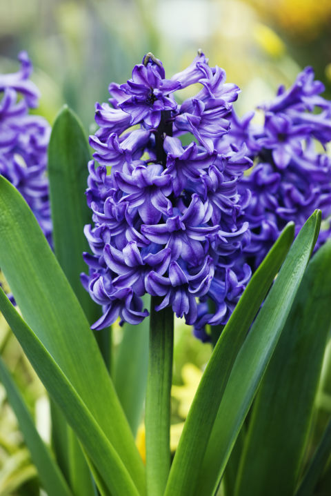 "Owing its origin to the myth of Apollo and Hyacinthus (the former accidentally killed the latter), the purple version of this bloom means ""please forgive me."""