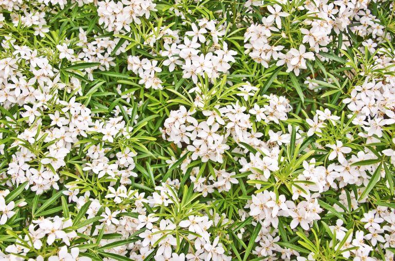 Choisya Ternate plant