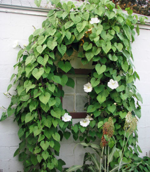 A night-blooming species of morning glory, this plant features fragrant white flowers that open from sundown to sunup, midsummer to early autumn—you can literally watch them unfurl at dusk. While the vine reaches heights of more than 15 feet, you'll want to sow several to achieve the lush effect above.