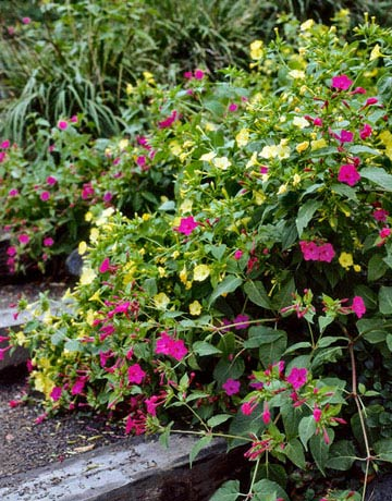 As their name indicates, the pink, red, yellow, or white blossoms of Mirabilis jalapa open in the late afternoon, releasing a lemony spice scent. They do well in full sun or partial shade.  ANNUAL